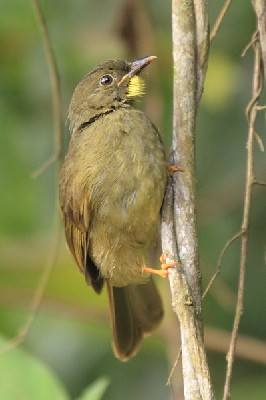 Yellow-whiskered Greenbul - Bilbil wasaty