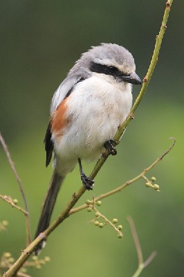 Mackinnon's Shrike / Fiscal
