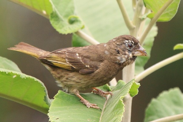 Thick-billed Seedeater