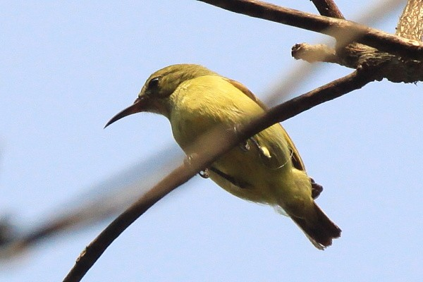 Little Green Sunbird Nektarnik zielony