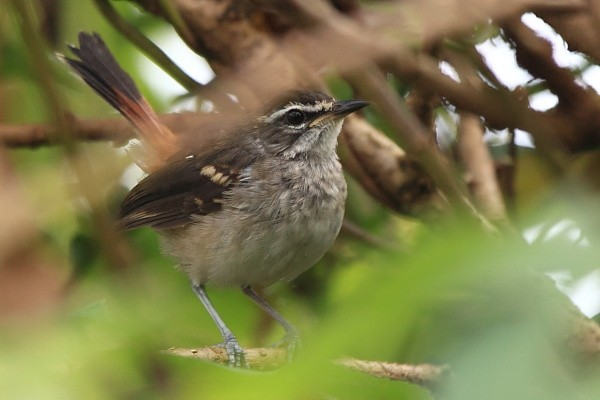 Brown-backed Scrub Robin