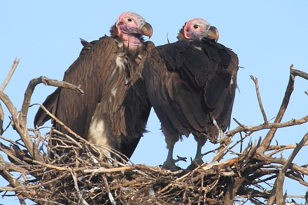 Lappet-faced Vulture, Sep uszaty