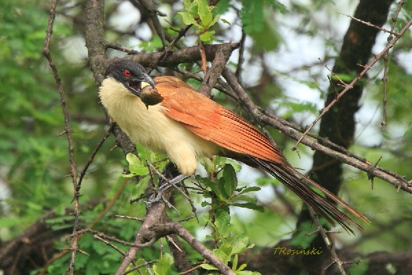 Kukal miedzianosterny, Coppery-tailed coucal