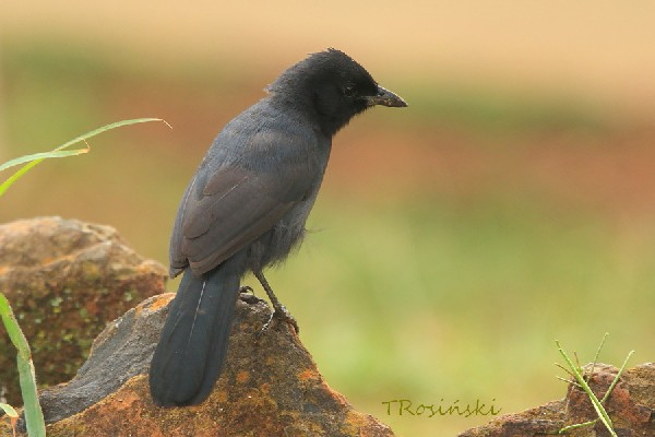 Slate-coloured Boubou