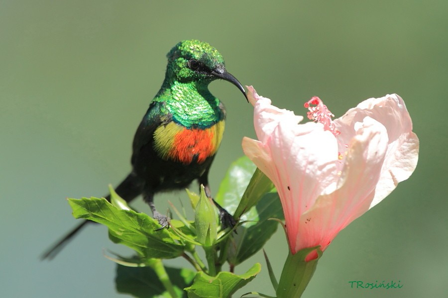 Beautiful Sunbird, Nektarnik piekny