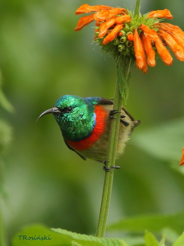 Eastern Double-collared Sunbird, Nektarnik dwuwstegi