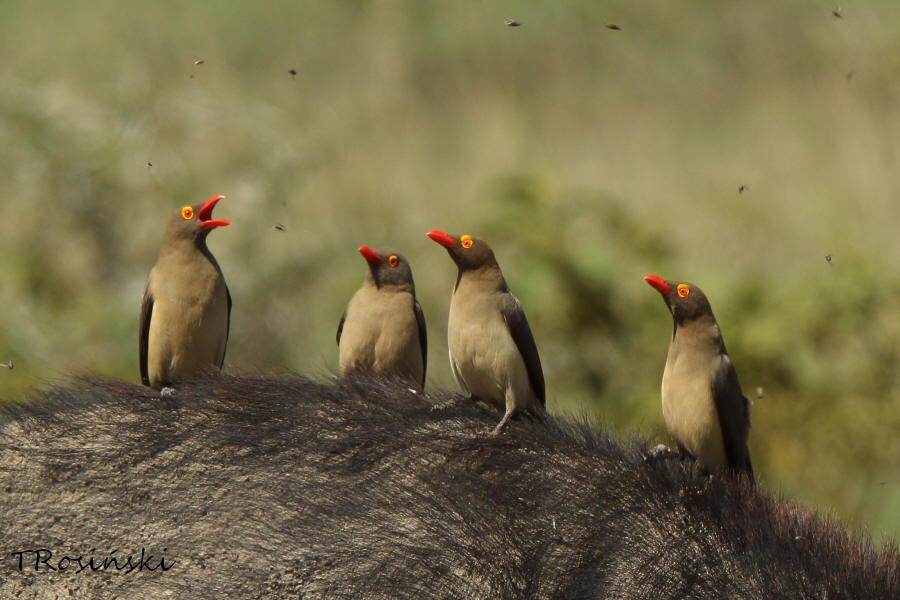 Red-billed Oxpecker, Bakojad czerwonodzioby