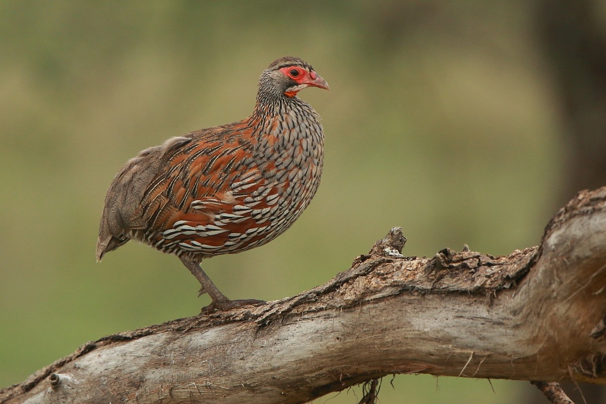 Grey-breasted Spurfowl