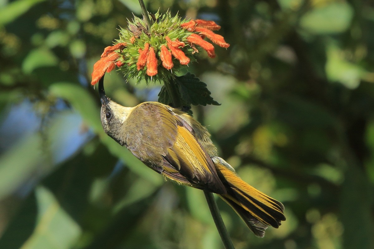 Golden-winged Sunbird