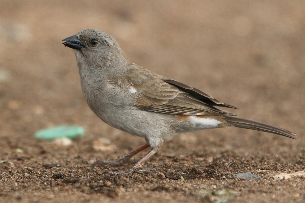 Northern Grey-headed Sparrow