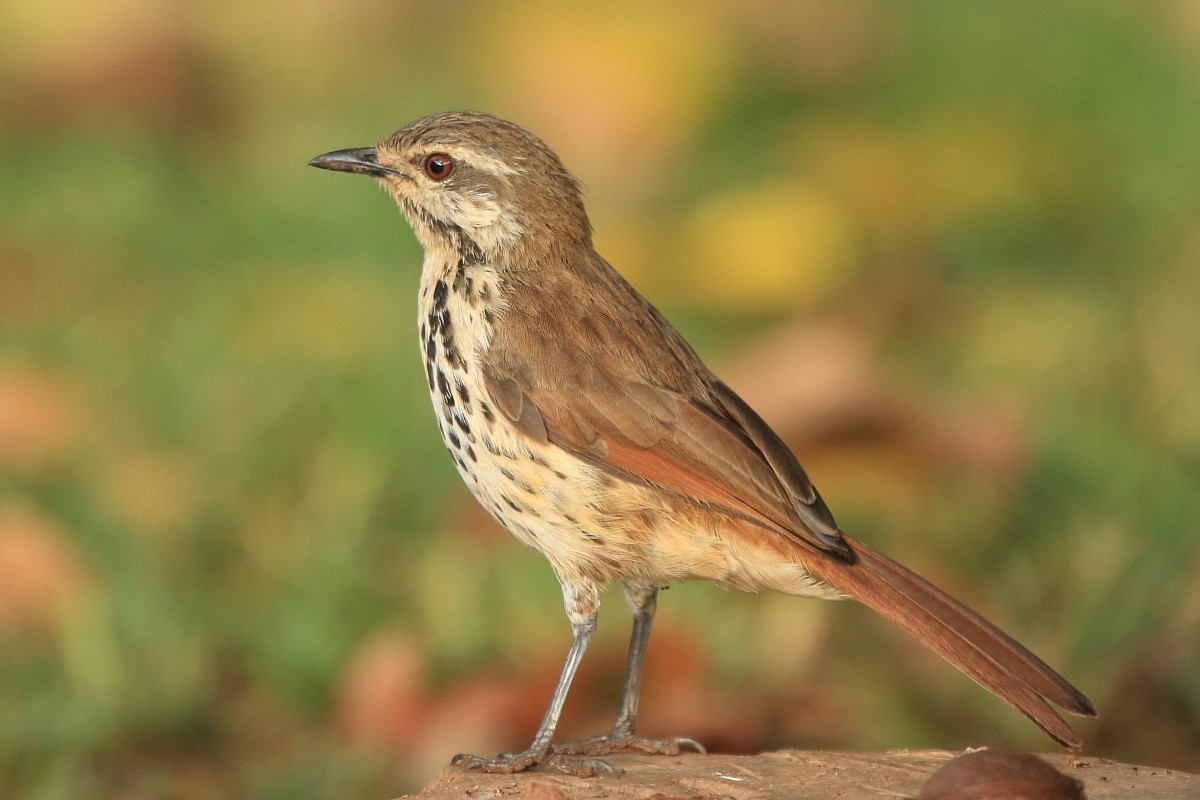 Spotted Palm-Thrush