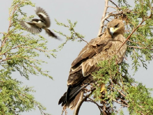 Tawny eagle being mobbed by Common fiscal