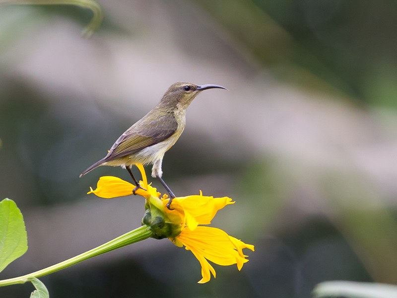 Tiny Sunbird (female)