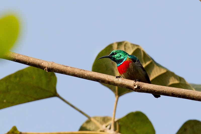 Tiny Sunbird (male)