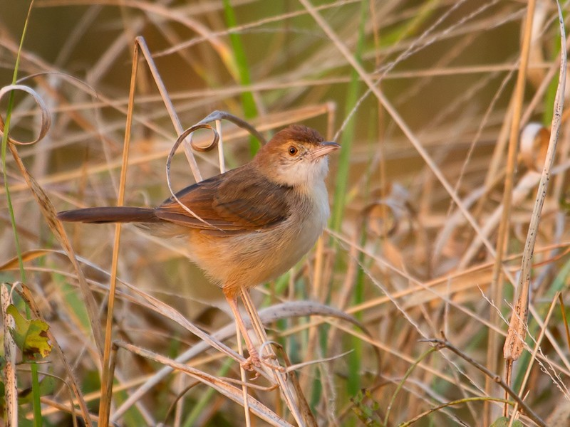 Short-winged Cisticola