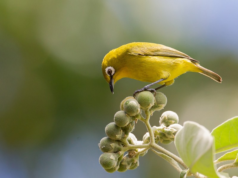 Kirk's White-eye