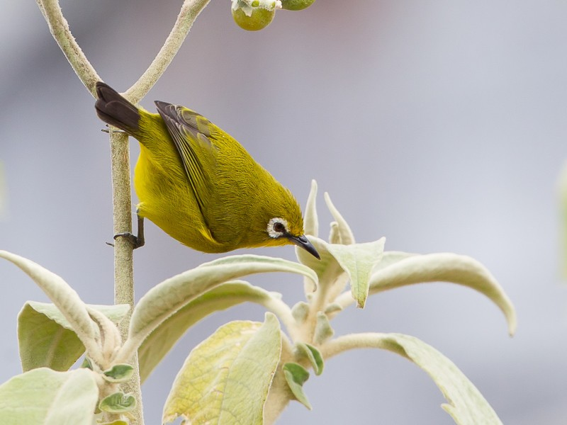 Mount Karthala White-eye