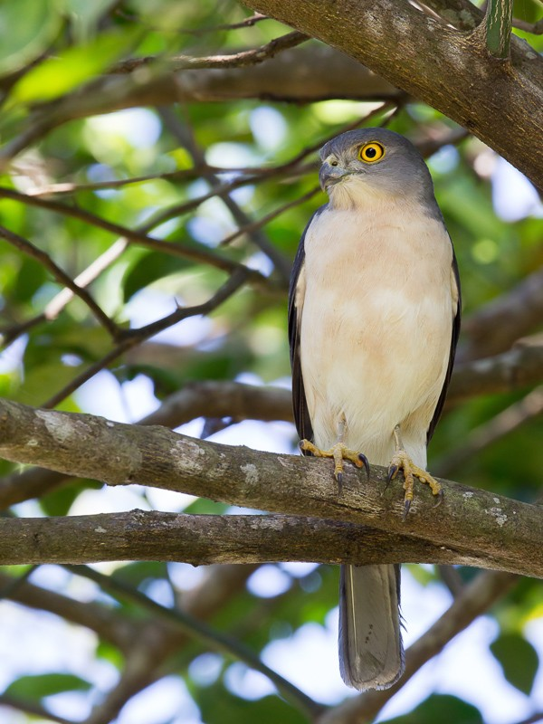 Frances's Sparrowhawk