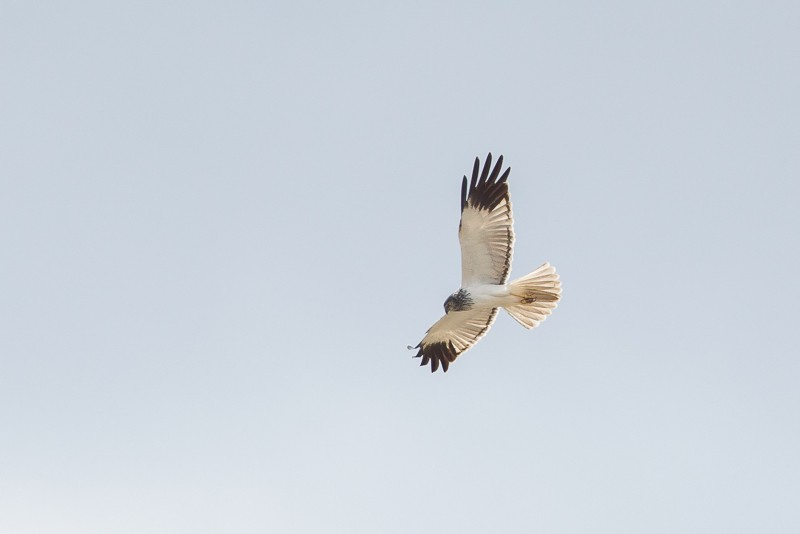 Madagascar  Marsh Harrier