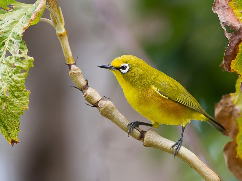 Mayotte White-eye