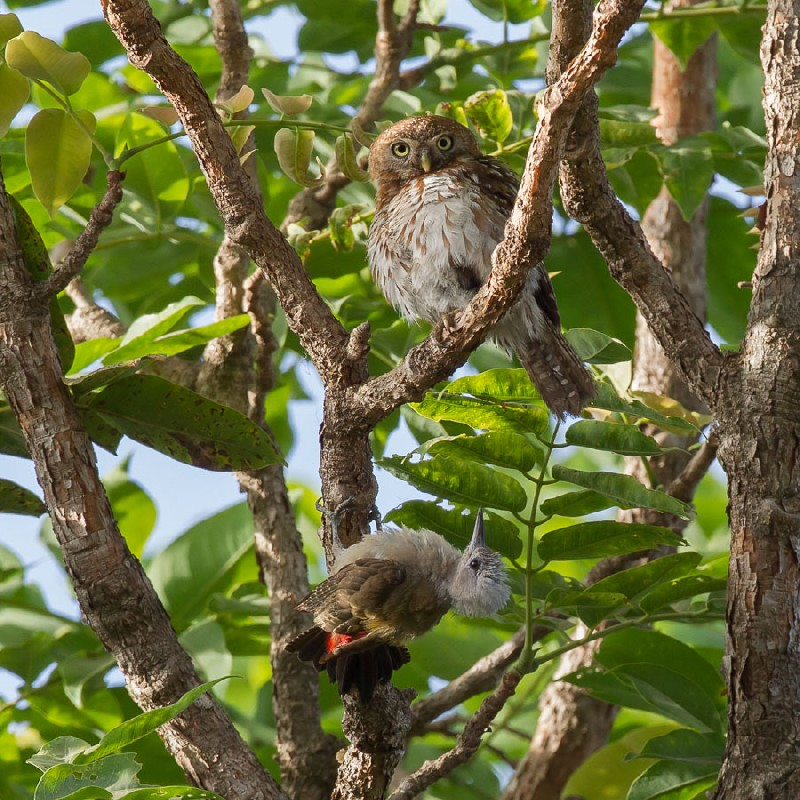 Pearl-spotted Owlet being chased away by the woodpecker