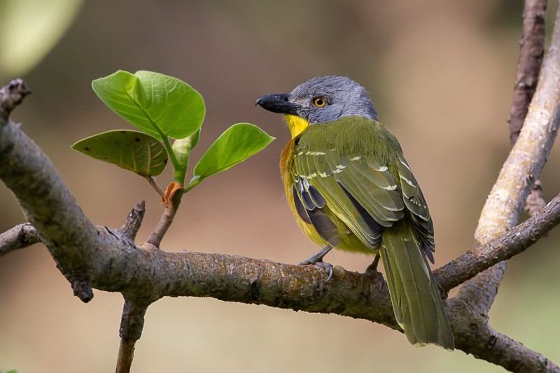 Grey-headed Bush-Shrike