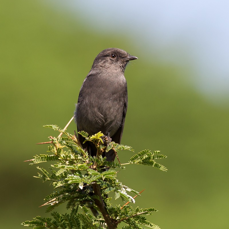 Northern Black Flycatcher