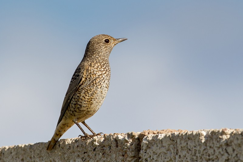 Common Rock-Thrush
