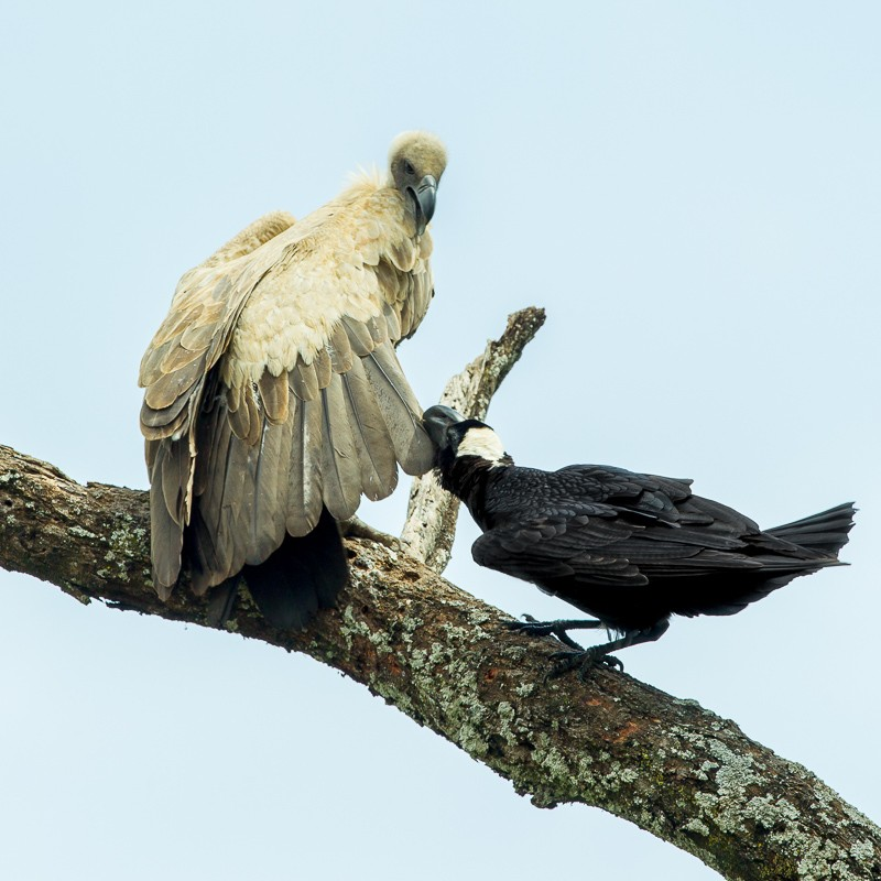 Thick-billed Raven attacking White-backed Vulture