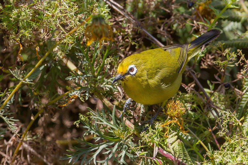 Montane White-eye (ssp. kafffensis)