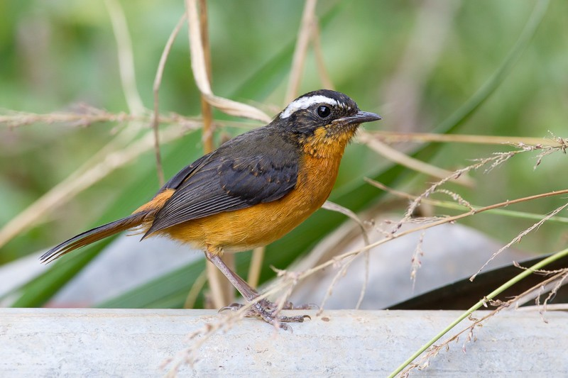 Rüppell's Robin-Chat