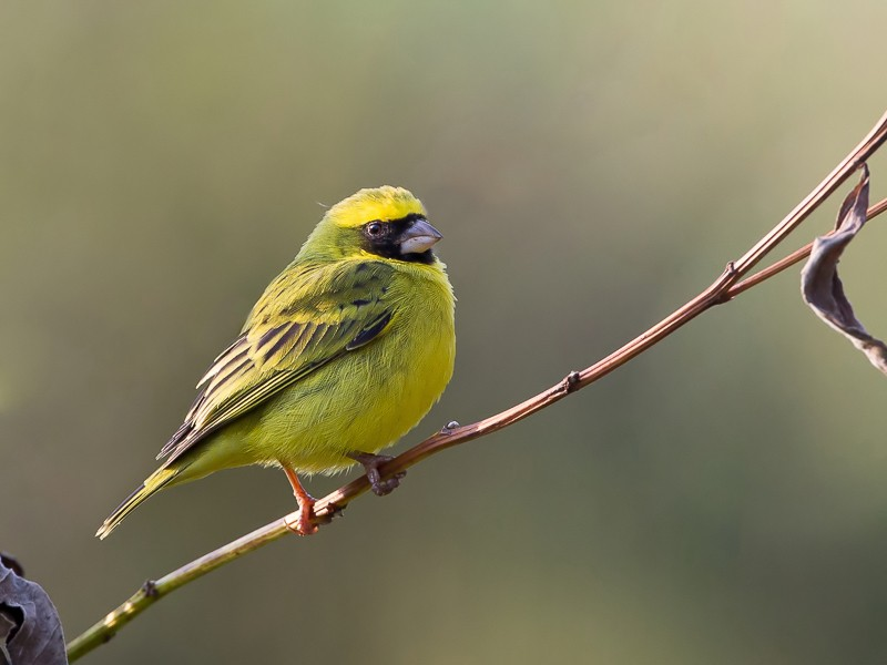 Black-faced Canary