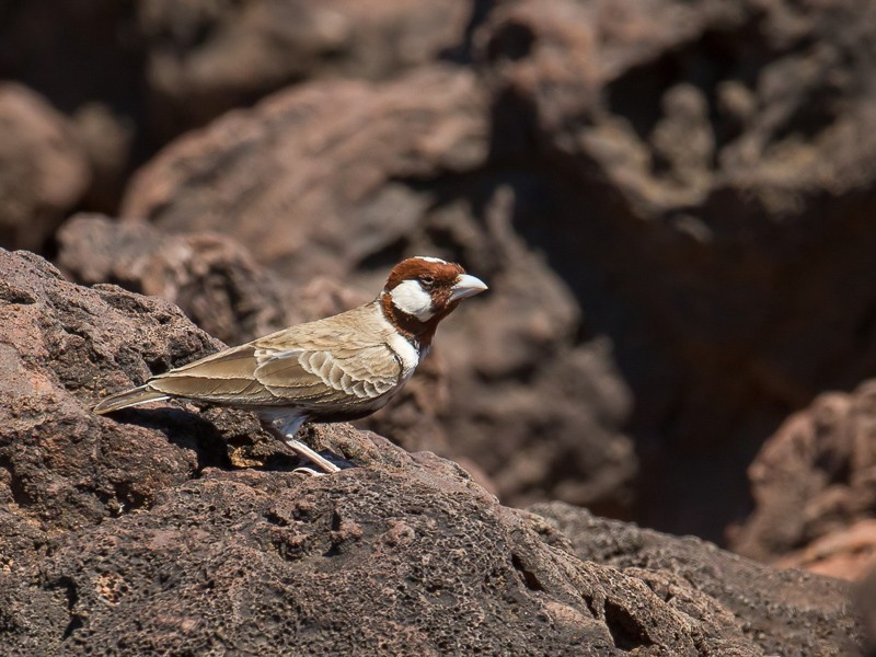 Chestnut-headed Sparrow Lark