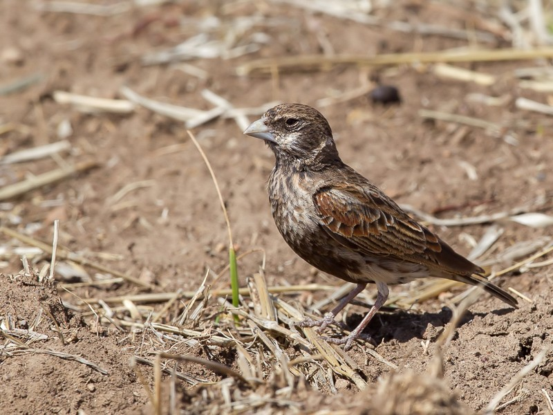 Chestnut-backed Sparrow Lark