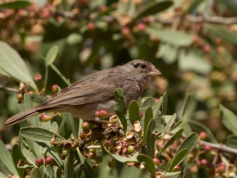 Yellow-rumped Seedeater with tick behind the eye