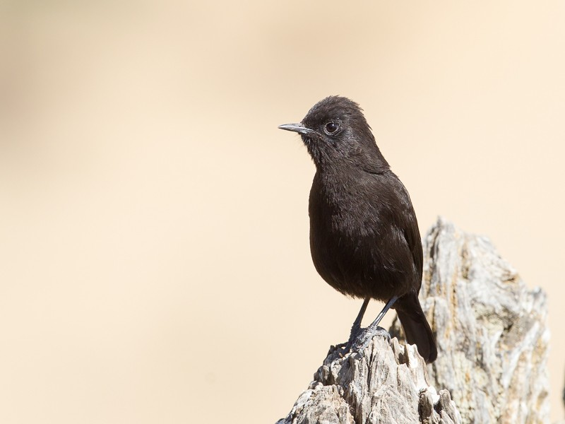 Rüppell's Black Chat
