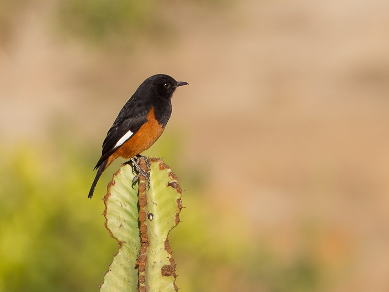 White-winged Cliff-Chat