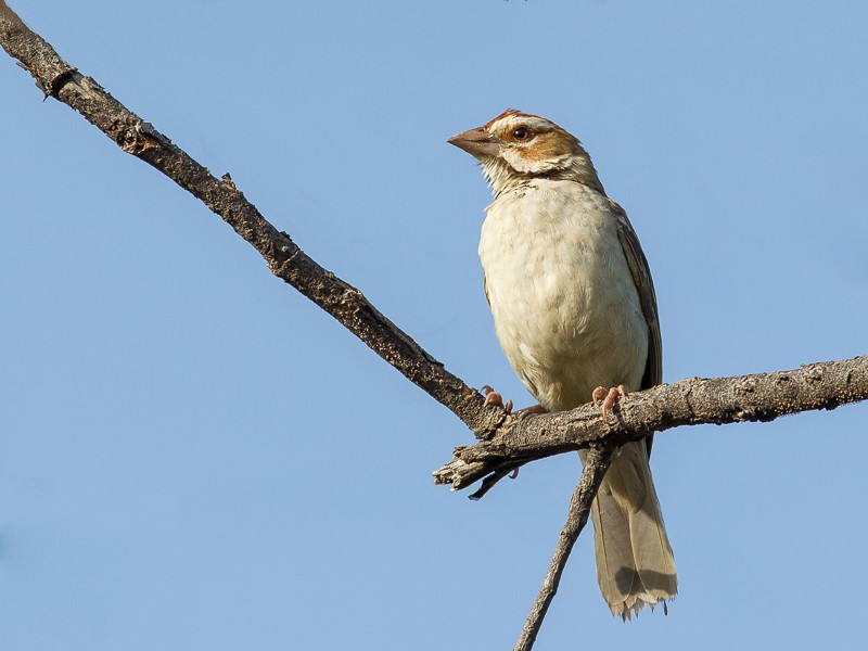 Chestnut-crowned Sparrow-Weaver