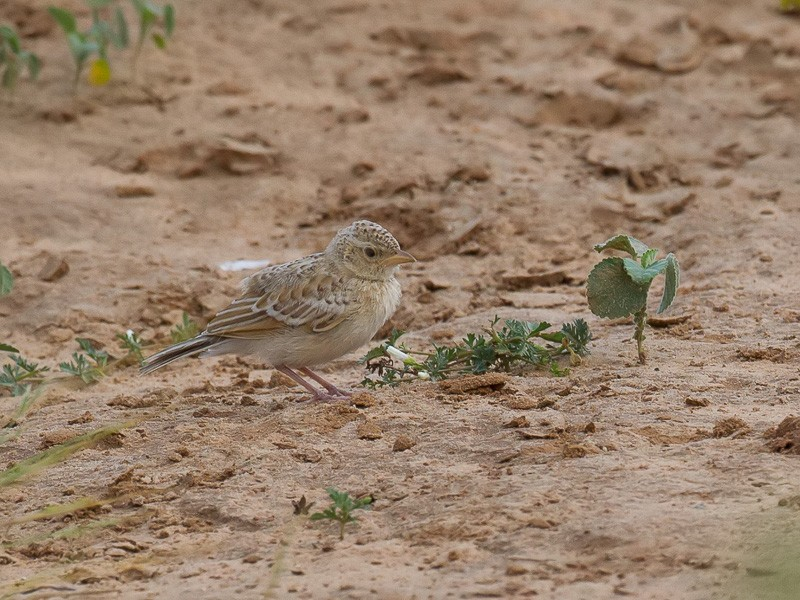 Singing Bush Lark