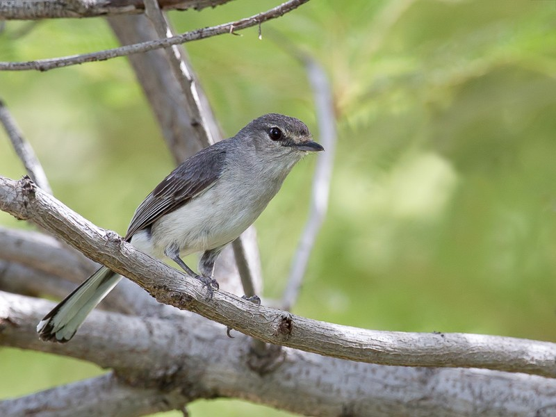 Grey Tit-flycatcher