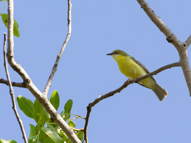 Green-capped Eremomela