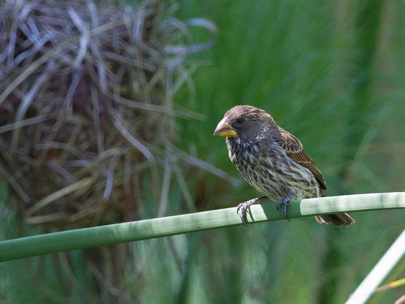 Grosbeak Weaver
