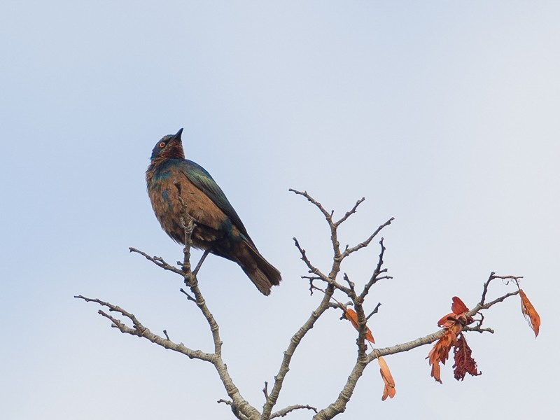 Miombo Blue-eared Starling