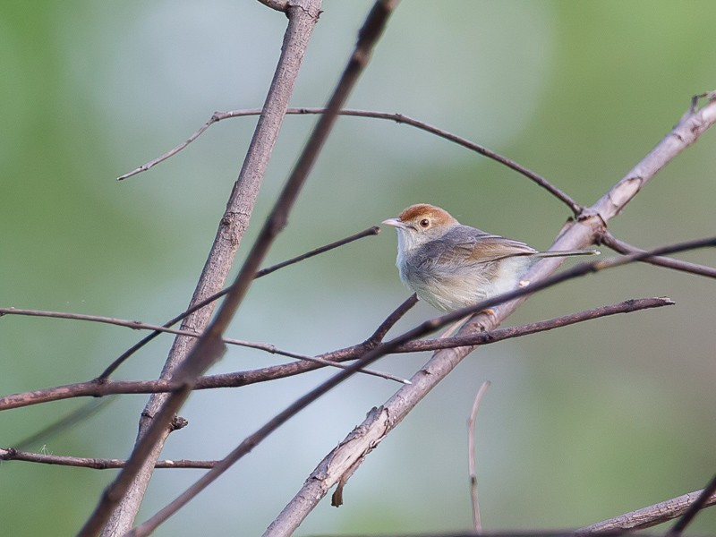 Piping Cisticola (Neddicky)