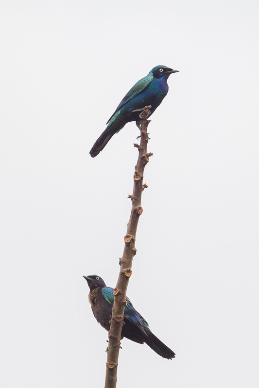 Splendid Starling