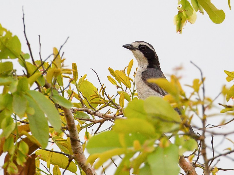 Grey-green (Bocage's) Bush-Shrike