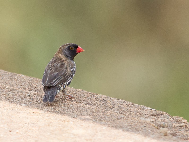 Quailfinch