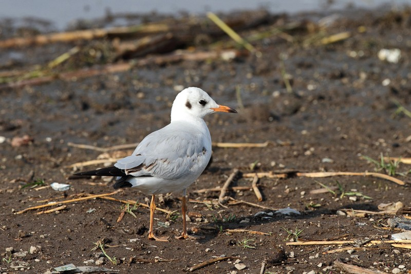 Common Black-headed Gull
