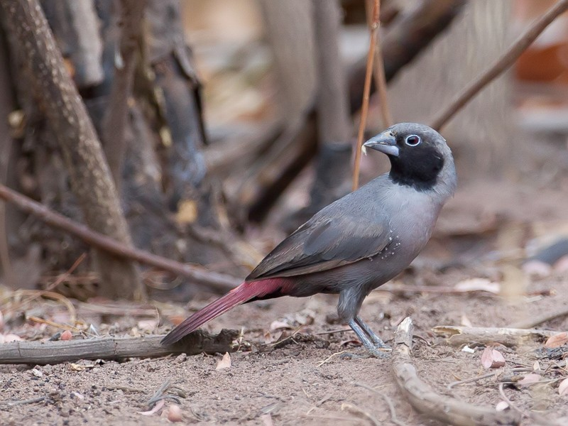 Black-faced Firefinch