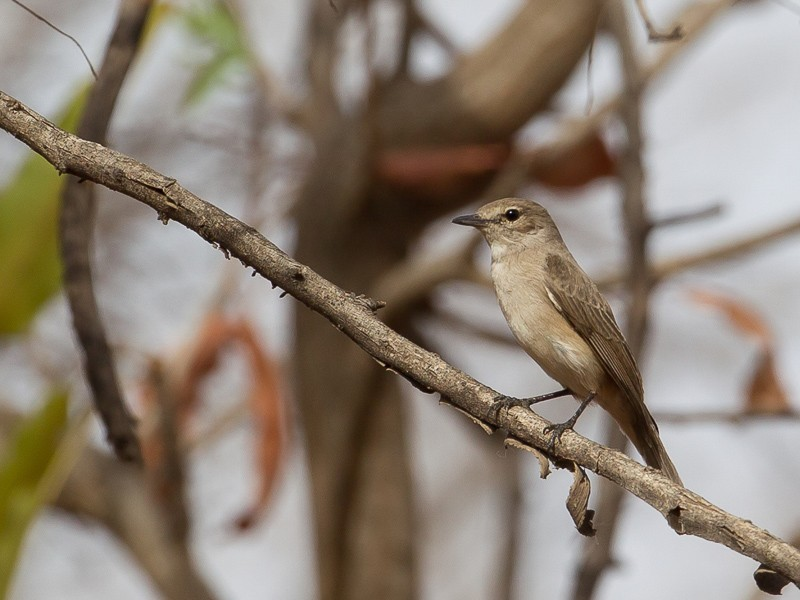 Pale Flycatcher
